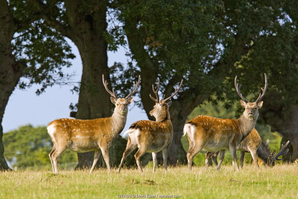 Sika deer (Cervus nippon) stags in summer coat, Arne RSPB Reserve, Dorset, England, August