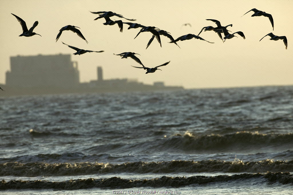 Curlews (Numenius arquata) flying into roost with Hinkley point, Nuclear power station in background, Bridgewater Bay NNR, Somerset, England, August