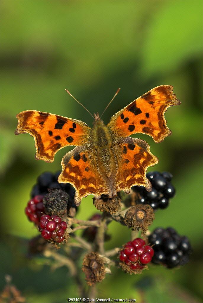 Comma butterfly (Polygonia C-album) feeding on ripe blackberries, Dorset, UK, August