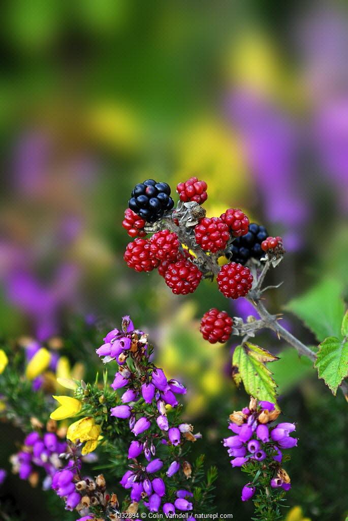 Blackberries (Rubus plicatus) with heather and gorse. Dorset, UK, August.