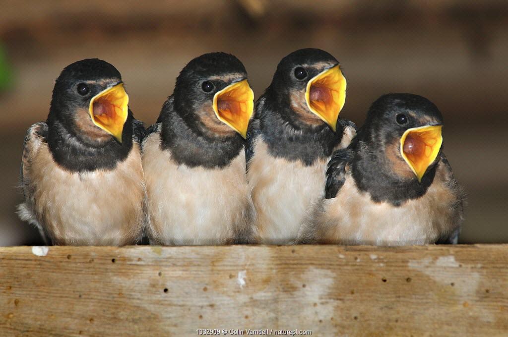 Fledgling Barn swallows (Hirundo rustica) calling for food in barn. Dorset, UK, August.