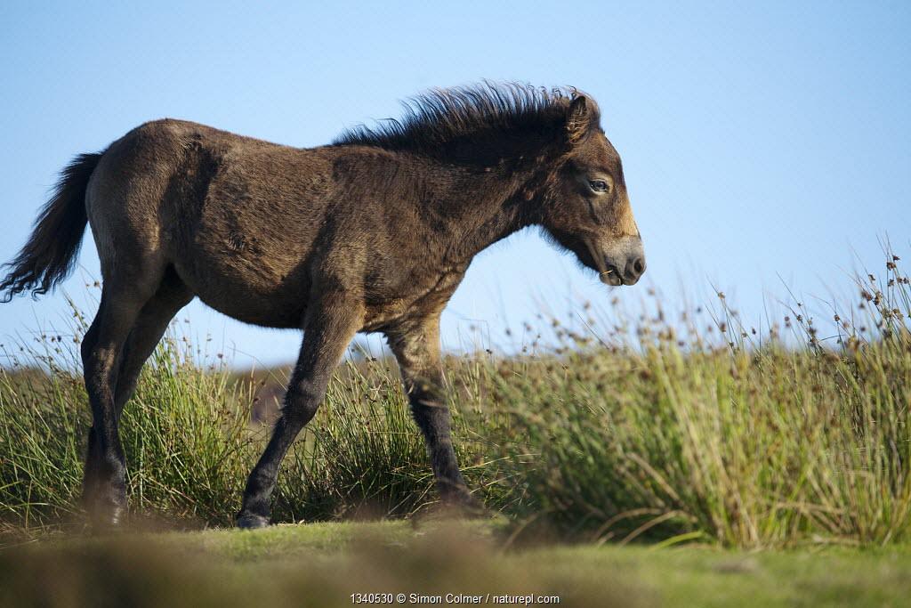 Exmoor Pony (Equus caballus) foal on heathland, Dunkery and Horner Woods NNR, Exmoor NP, Somerset, UK, August.
