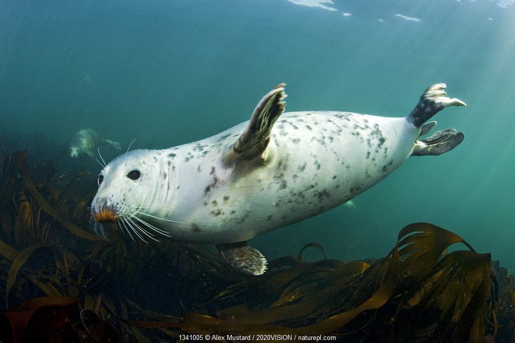 Grey seal (Halichoerus grypus) swimming amongst kelp, Farne Islands, Northumberland, England, UK, August.