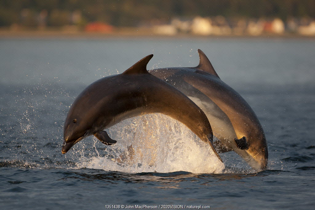 Bottlenose dolphin (Tursiops truncatus) two breaching in evening light, Moray Firth, Inverness-shire, Scotland, UK, August