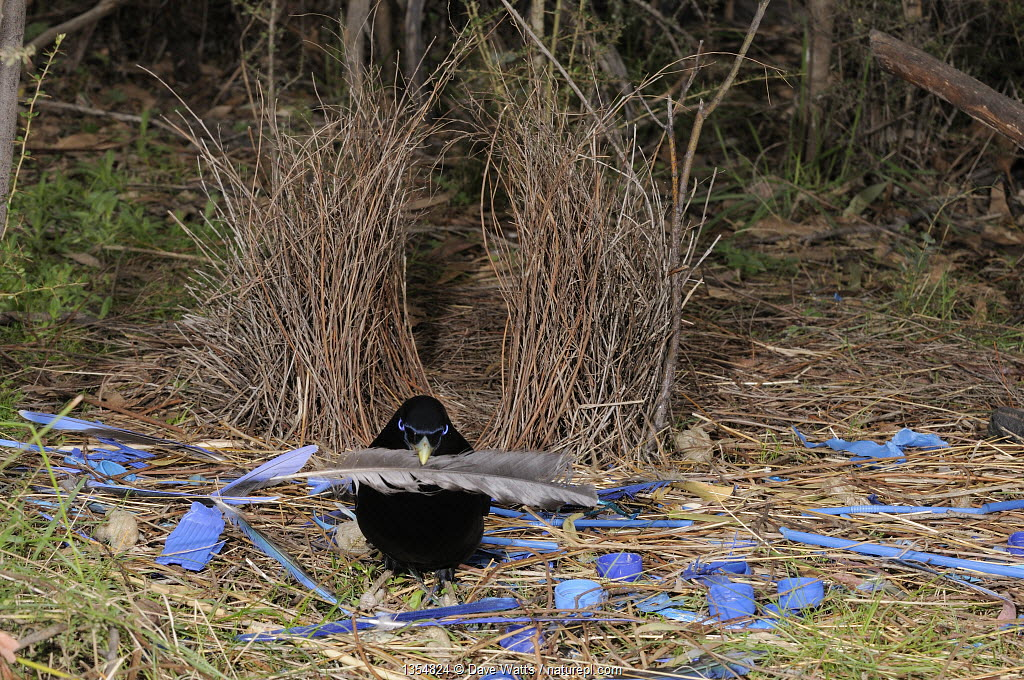 Satin Bowerbird (Ptilonorhynchus violaceus) male arranging blue plastic ornaments and feather at bower, Australian Capital Territory, Australia, September