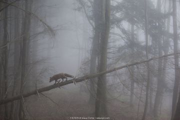 Red Fox (Vulpes vulpes) walking along a fallen trunk in misty forest. Black Forest, Germany, November.