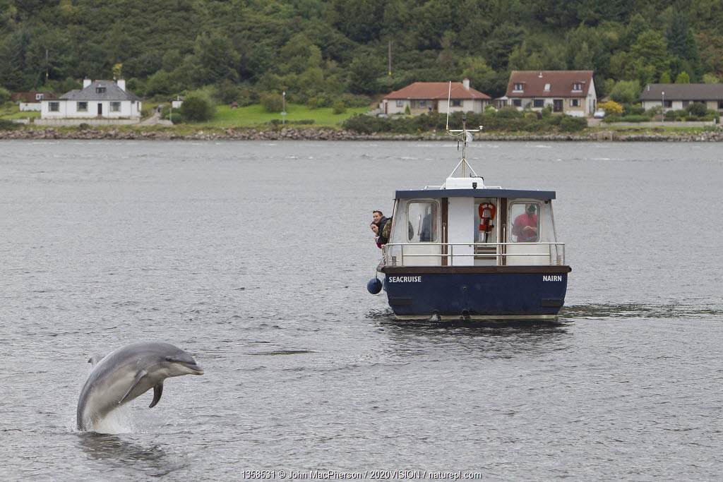 Bottlenose dolphin (Tursiops truncatus) breaching in front of dolphin watching tourist boat in Kessock Narrows, viewed from Inverness Marina, Inverness-shire, Moray Firth, Scotland, UK, August 2011