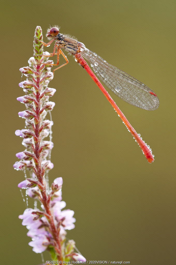 Small red damselfly {Ceriagrion tenellum} resting on willow herb flower spike, covered in morning dew, Arne (RSPB) Nature Reserve, Dorset, UK. August