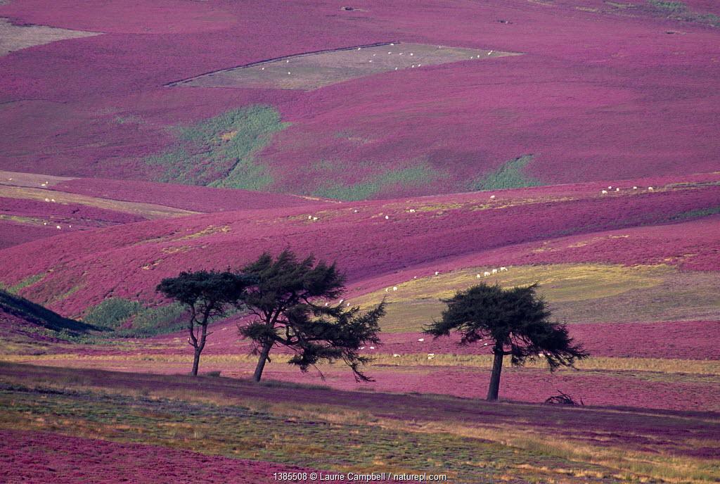 Row of Larch trees on flowering heather moorland, Lammermuir Hills, Berwickshire, Scotland, August