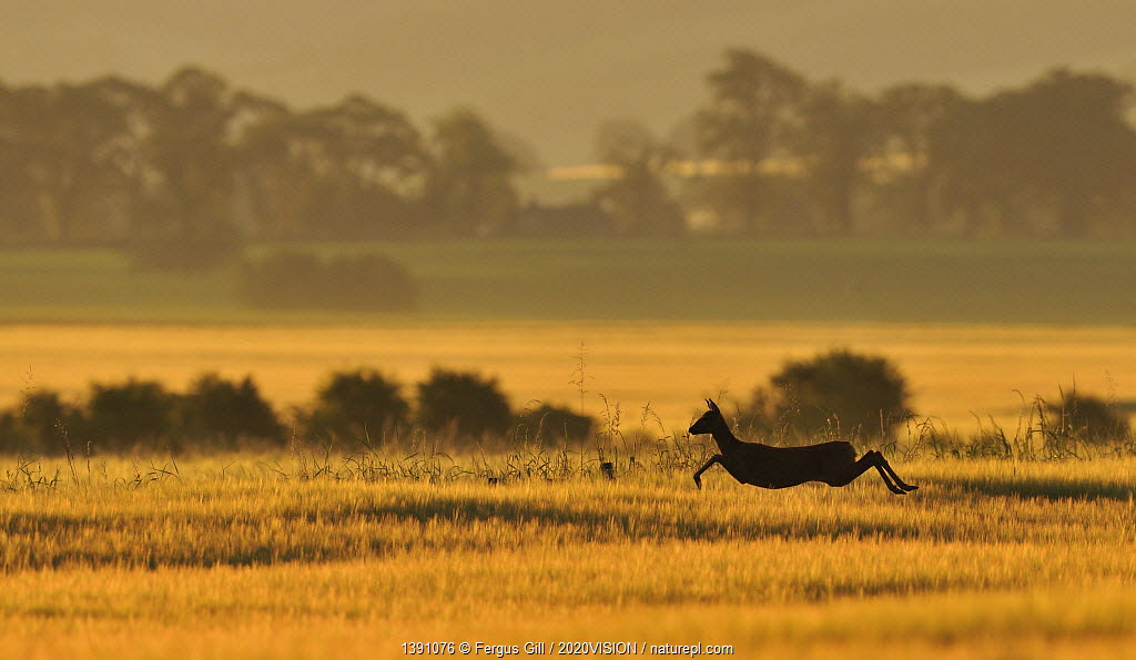 Roe Deer (Capreolus capreolus) doe running in a field of barley, Northumberland, England, summer. Although Roe deer mate in August, the fertilised egg is dormant until January, which prevents the female from giving birth in winter when there is less food.