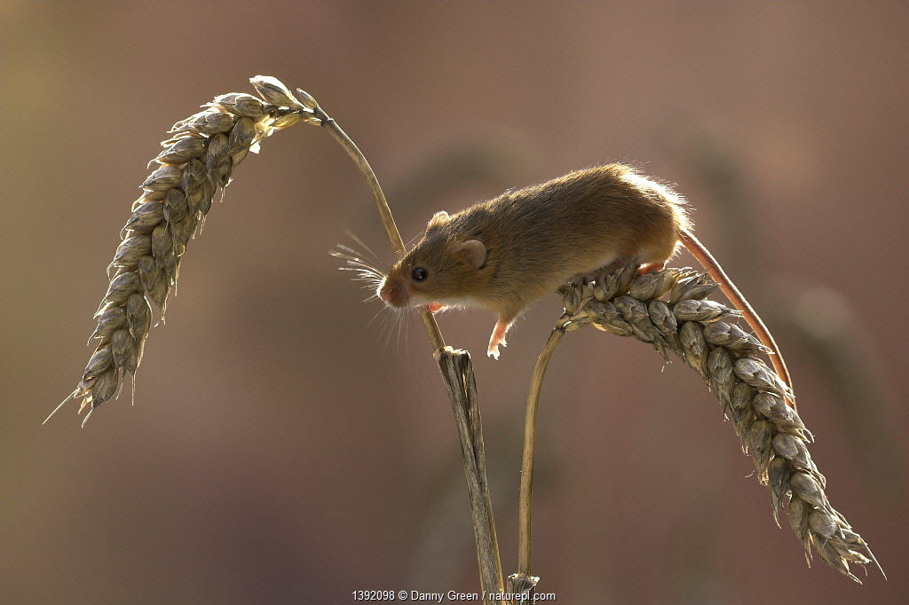 Harvest Mouse (Micromys minutus) climbing on ears of wheat. Captive. Leicestershire, UK, September.