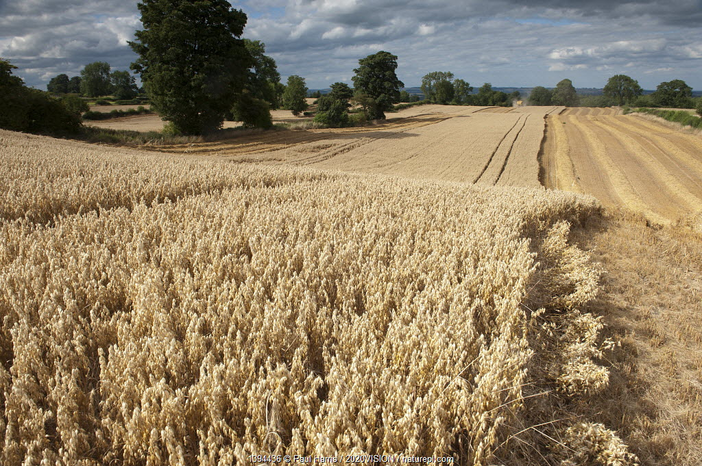 Ripe Oat crop with Combine harvester in distance, Haregill Lodge Farm, Ellingstring, North Yorkshire, England, UK, August.