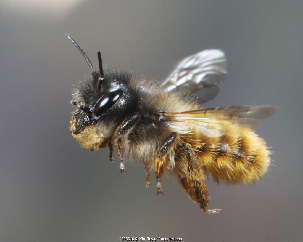 Red mason bee (Osmia rufa) female in flight carrying mud to nest, Surrey, UK, April