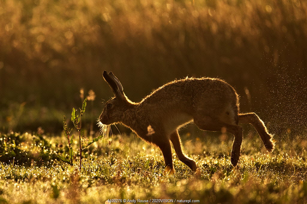 European Hare (Lepus europaeus) silhouetted at dawn. Wales, UK, August. Did you know? Unlike rabbits, hares do not dig warrens, just a shallow depression called a form.