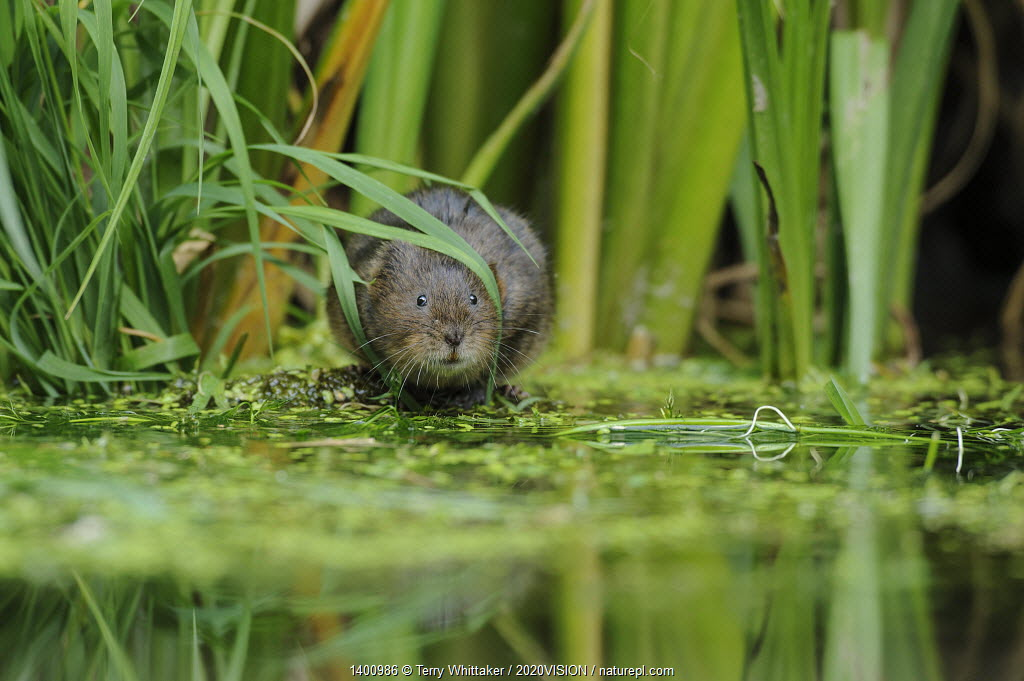 Water Vole (Arvicola amphibius / terrestris) foraging by water. Kent,