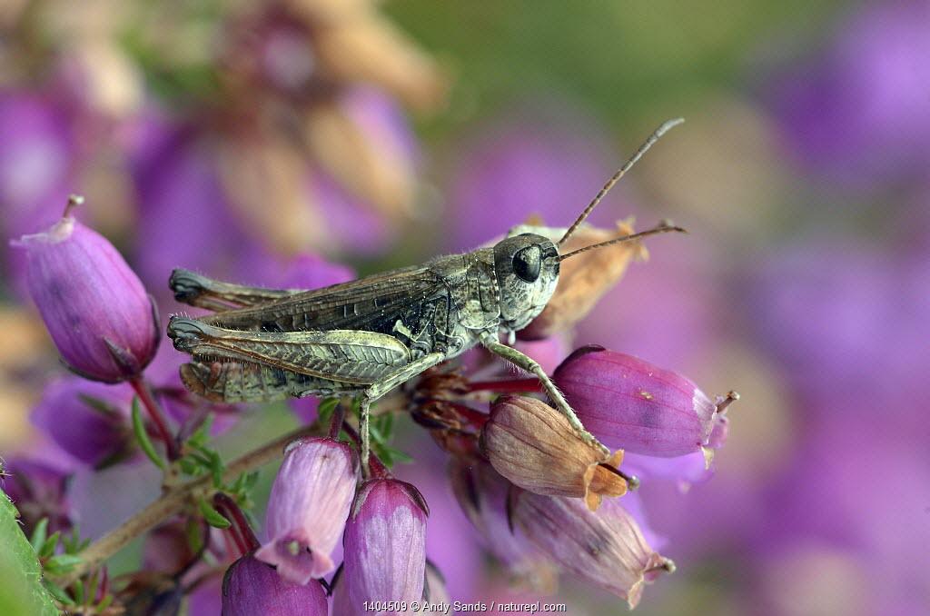 Mottled grasshopper (Myrmeleotettix maculatus) on Clustered bell heather flower mainly heathland species, Surrey, England, UK, August