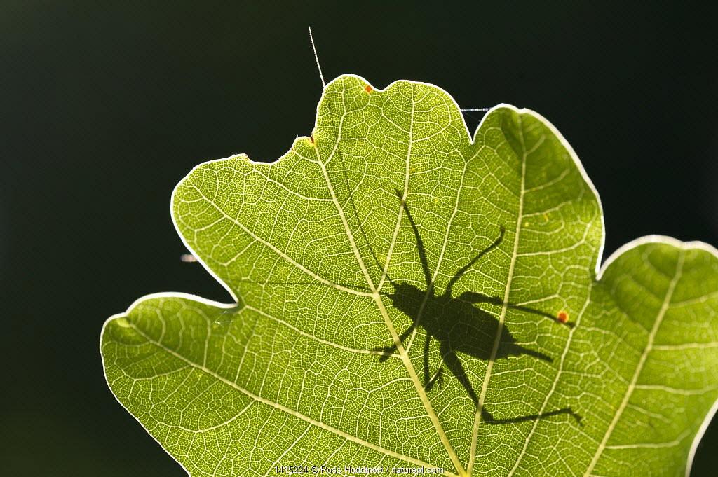 Speckled bush cricket (Leptophyes punctatissima) outline seen through backlit oak leaf, Bovey Tracey, Devon, UK. August
