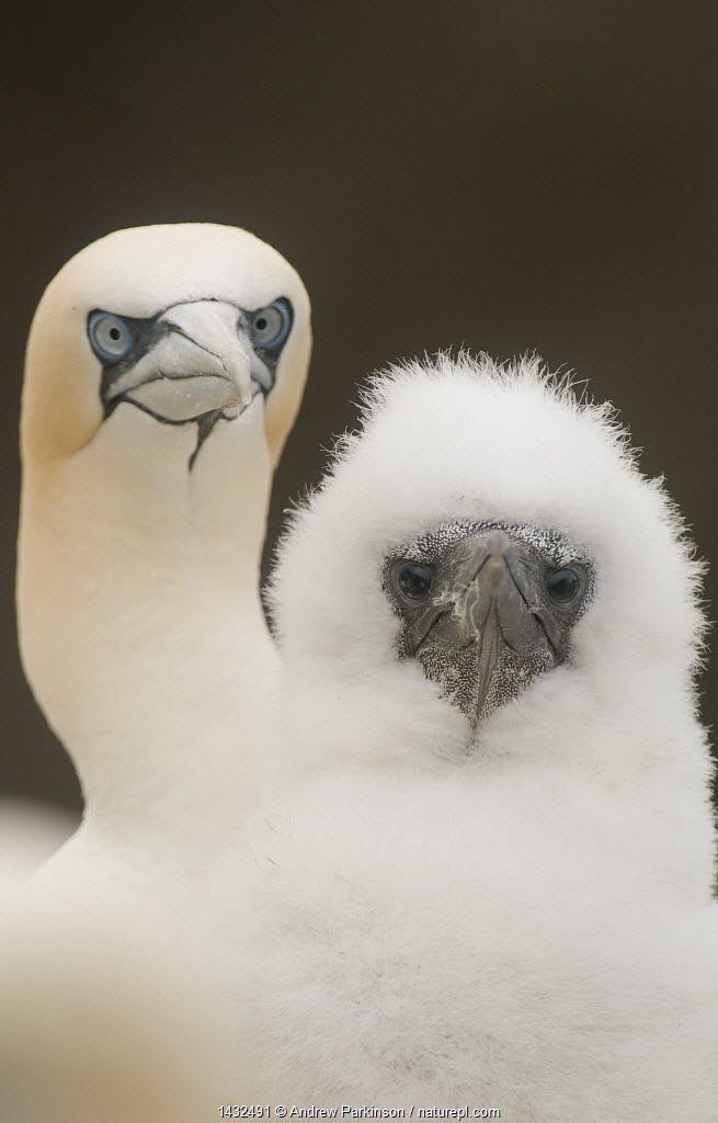 Gannet (Morus bassanus) fluffy chick with its parent. Shetland Islands, Scotland, UK, August.