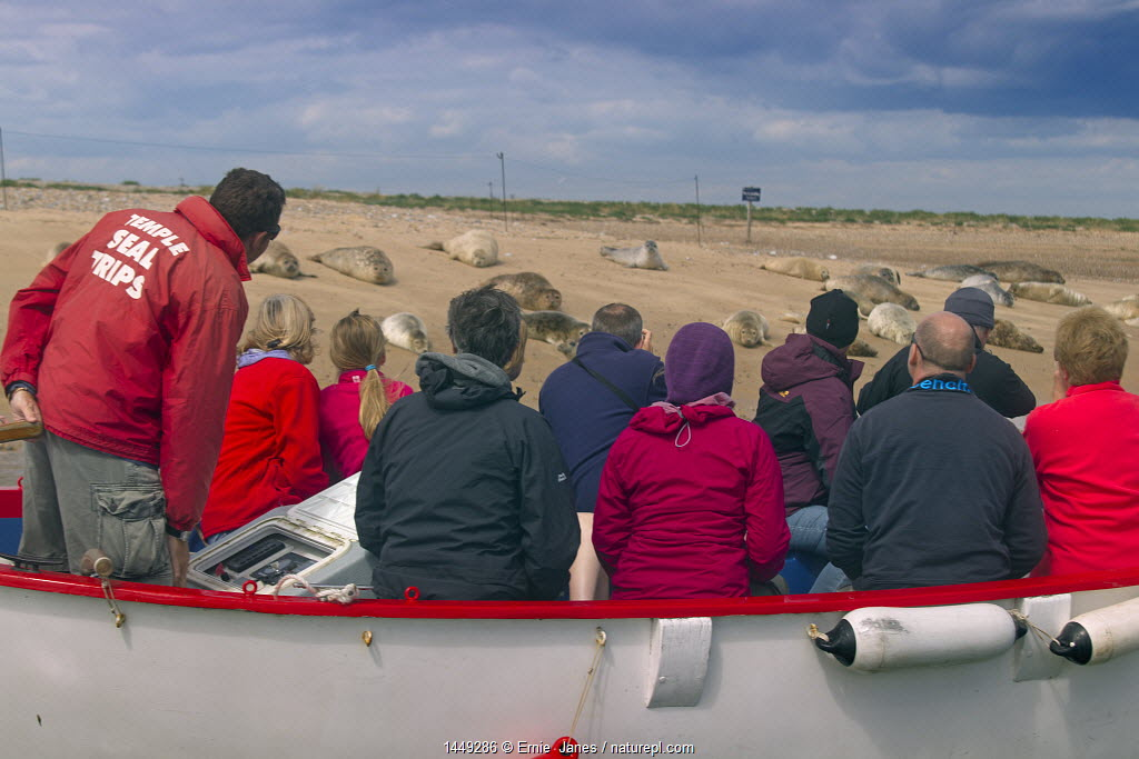 Boat full of people watching Common Seals (Phoca vitulina) on sand bank at Blakeney Point, Norfolk, August.