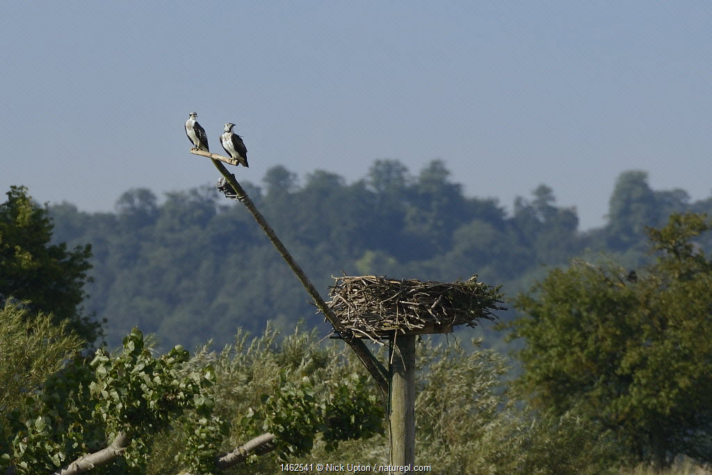 Two young Ospreys (Pandion haliaetus) waiting for their parents to feed them on a perch near their nest, Manton Bay, Rutland Water, Rutland, UK, August.