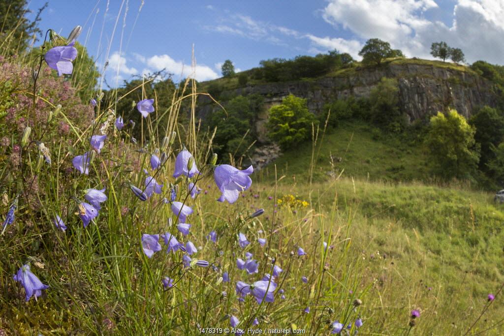 Harebells (Campanula rotundifolia) growing in disused limestone quarry. Peak District National Park, Derbyshire, UK. August.