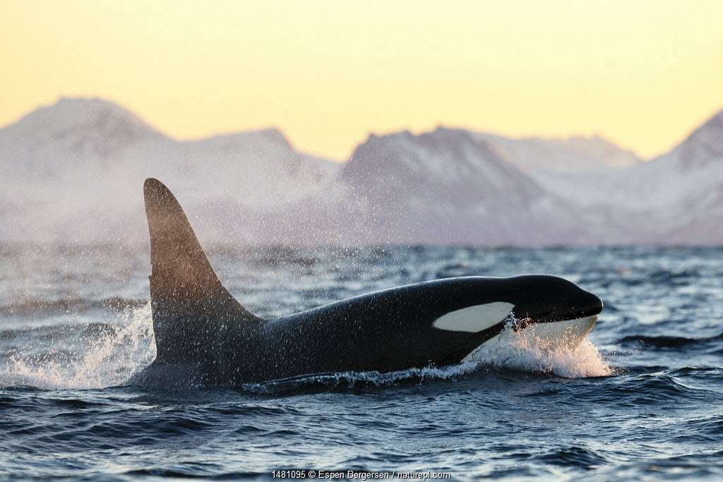 Killer whale / orca (Orcinus orca), large male surfacing, Andfjorden, close to Andoya, Nordland, Norway, January (polar night period).