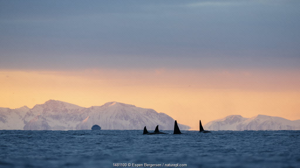 Killer whale / orca (Orcinus orca) pod searching for herring in Andfjorden, close to Andoya, Nordland, Norway, January (polar night period).