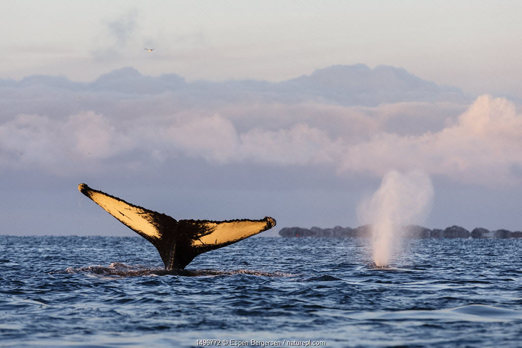 Fluke of diving Humpback whale (Megaptera novaeangliae) with one blowing in the background. Kvaloya, Troms, Northern Norway. November.
