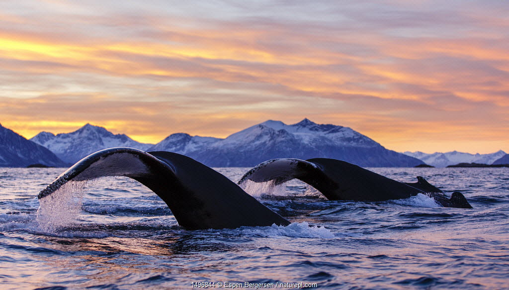 Three diving Humpback whales (Megaptera novaeangliae) diving during polar night, Kvaloya, Troms, Northern Norway. November.