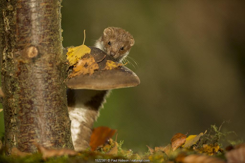 Weasel (Mustela nivalis) investigating birch stump with bracket fungus in autumn woodland, Sheffield, England, UK.