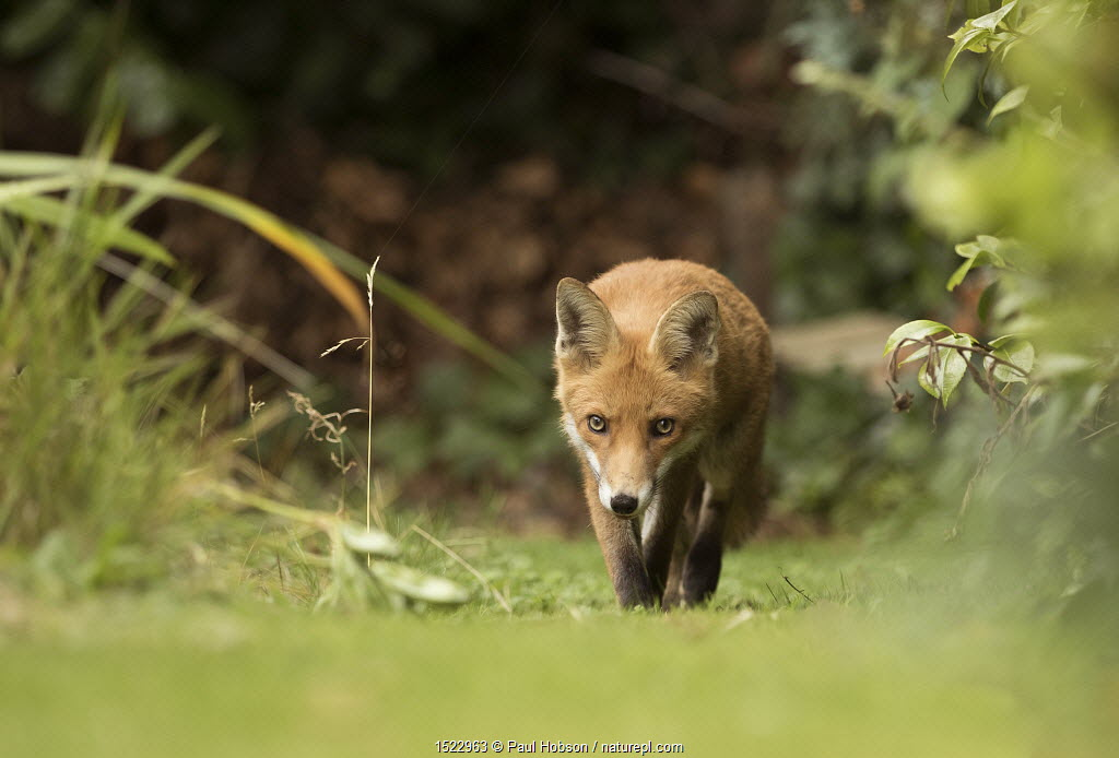 Fox (Vulpes vulpes) young in garden, Sheffield, England, UK, August.