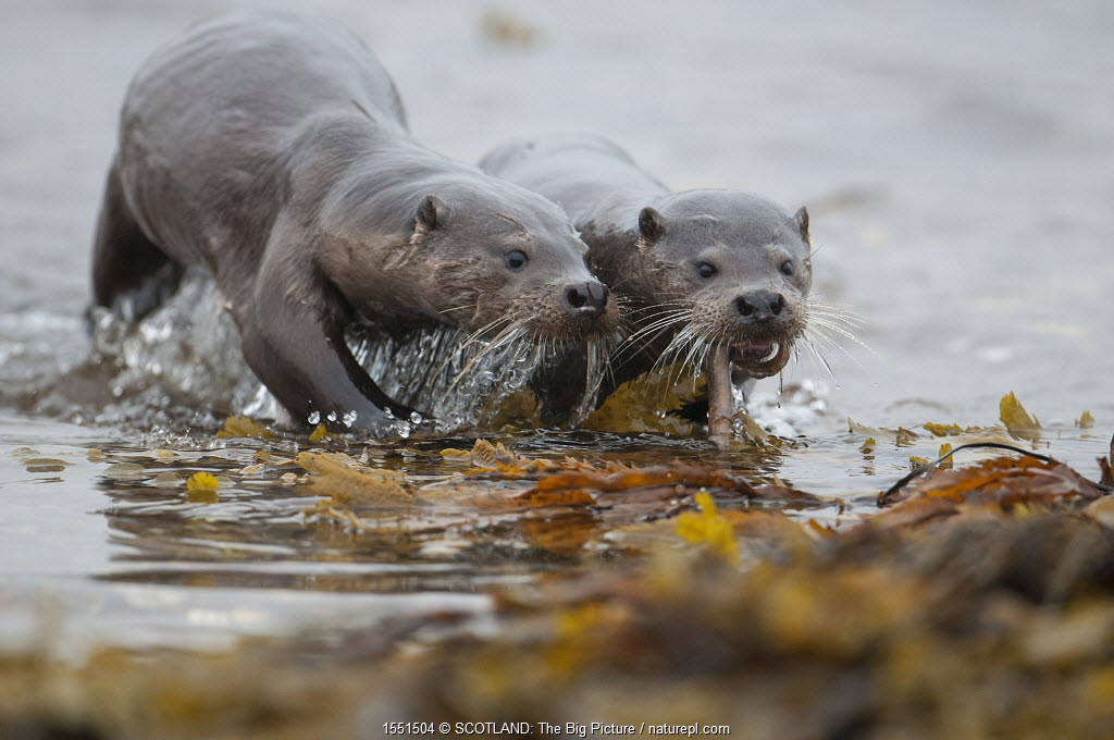 European river otter (Lutra lutra) female coming ashore with fish for cub, Shetland, Scotland, UK, August.