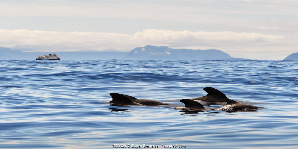 Long-finned pilot whales (Globicephala melas) dorsal fins visible at surface, Andenes, Andoya, Norway July