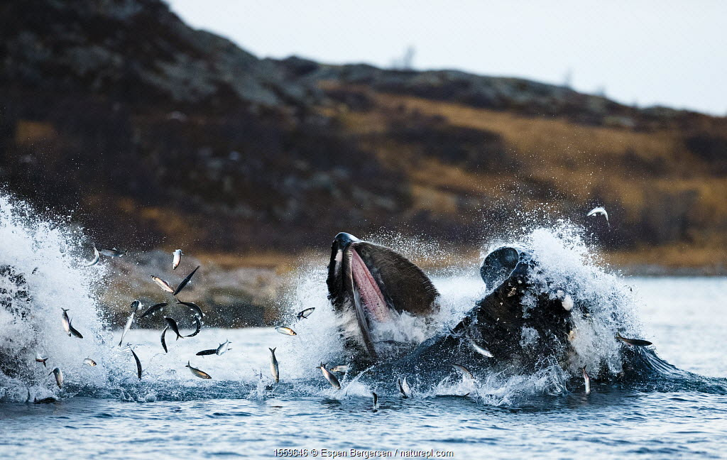 Humpback whales (Megaptera novaeangliae) feeding on herring (Clupea harengus) Kvaloya, Troms, Norway, November