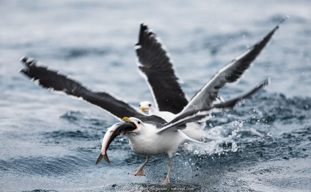 Great black-backed gulls (Larus marinus) fighting over Atlantic herring (Clupea harengus) Kvaloya, Troms, Norway, November