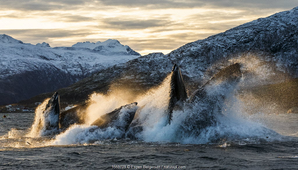 Humpback whales (Megaptera novaeangliae) bubble net / lunge feeding on herring (Clupea harengus) at dusk, pod co-operative feeding, Kvaloya, Troms, Norway, November