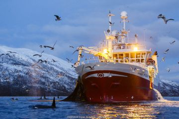 Killer whales (Orcinus orca) next to fishing vessel pulling net full of herring - the whales are feeding on any fish escaping the net, outside Kvaloya, Norway. December