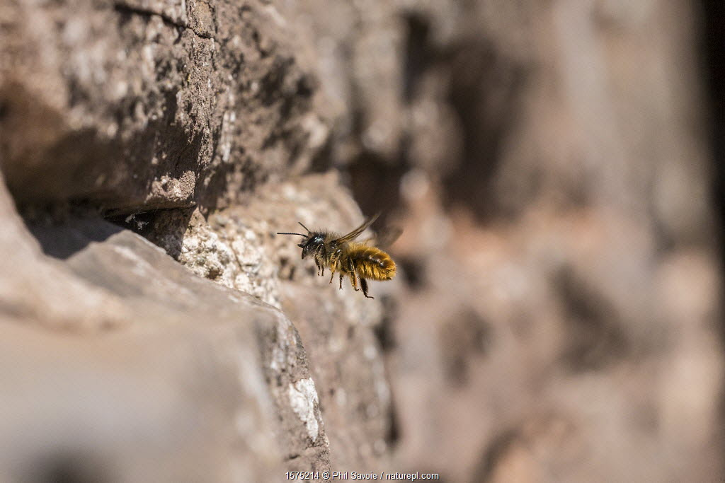 Red mason bee (Osmia bicornis) nesting in wall, Monmouthshire, Wales, UK, April.