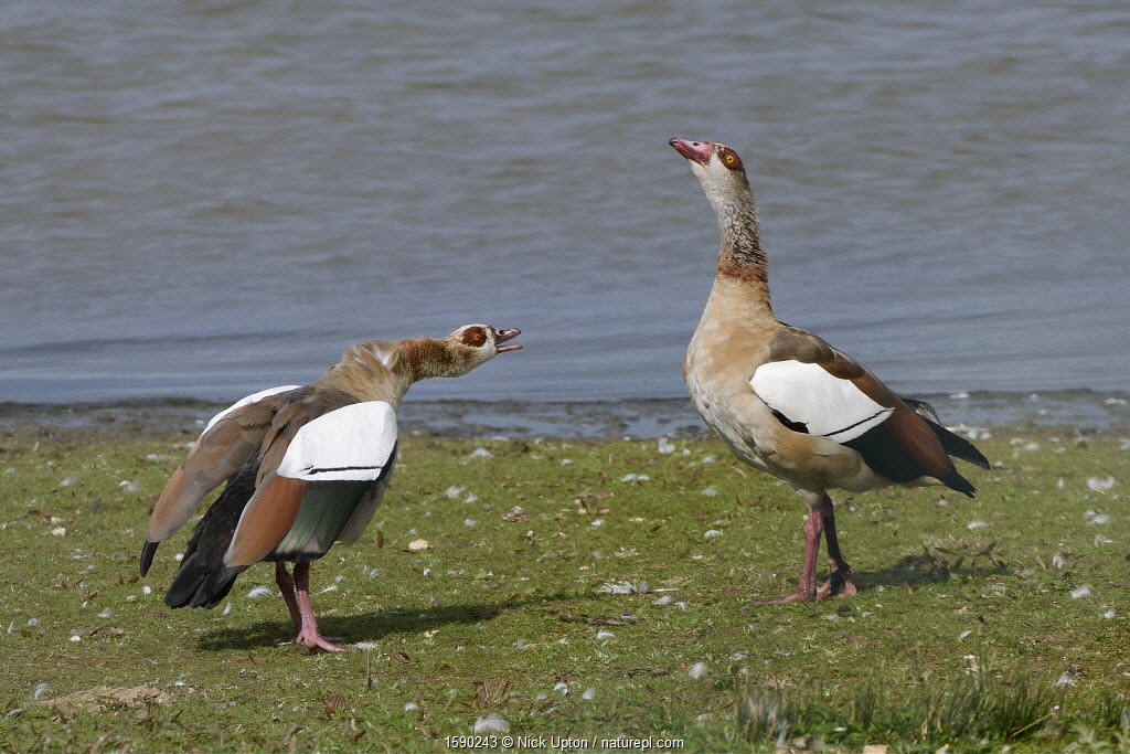 Egyptian goose (Alopochen aegyptiacus) in an aggressive head down challenge to another goose on the margins of Rutland Water reservoir, Rutland, UK, August.