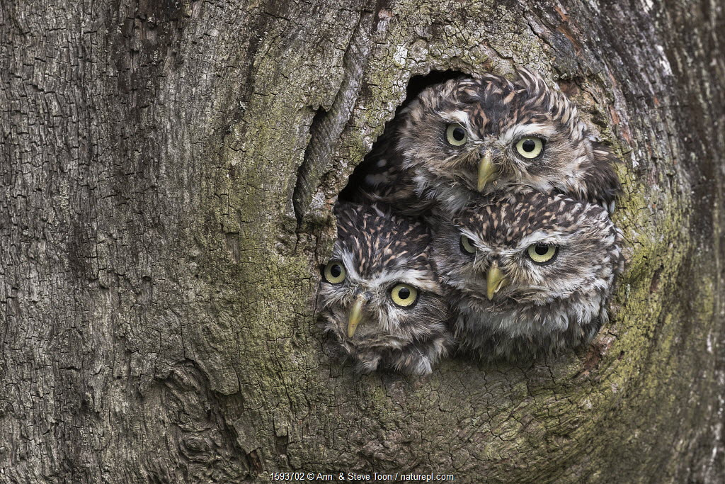 Three Little owls (Athene noctua) looking out of a nest hole, Cumbria, UK, August.