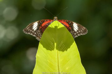 An Orange lacewing butterfly (Cethosia penthesilea), Cairns Botanical Gardens, Queensland, Australia. Captive. August.