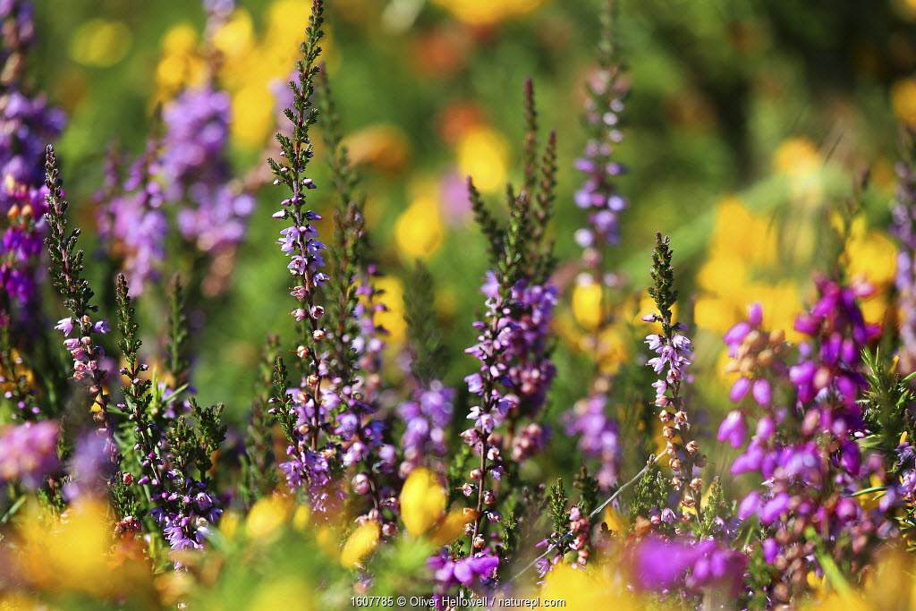 Heather (Calluna vulgaris) in flower, Dartmoor, England, UK. August.