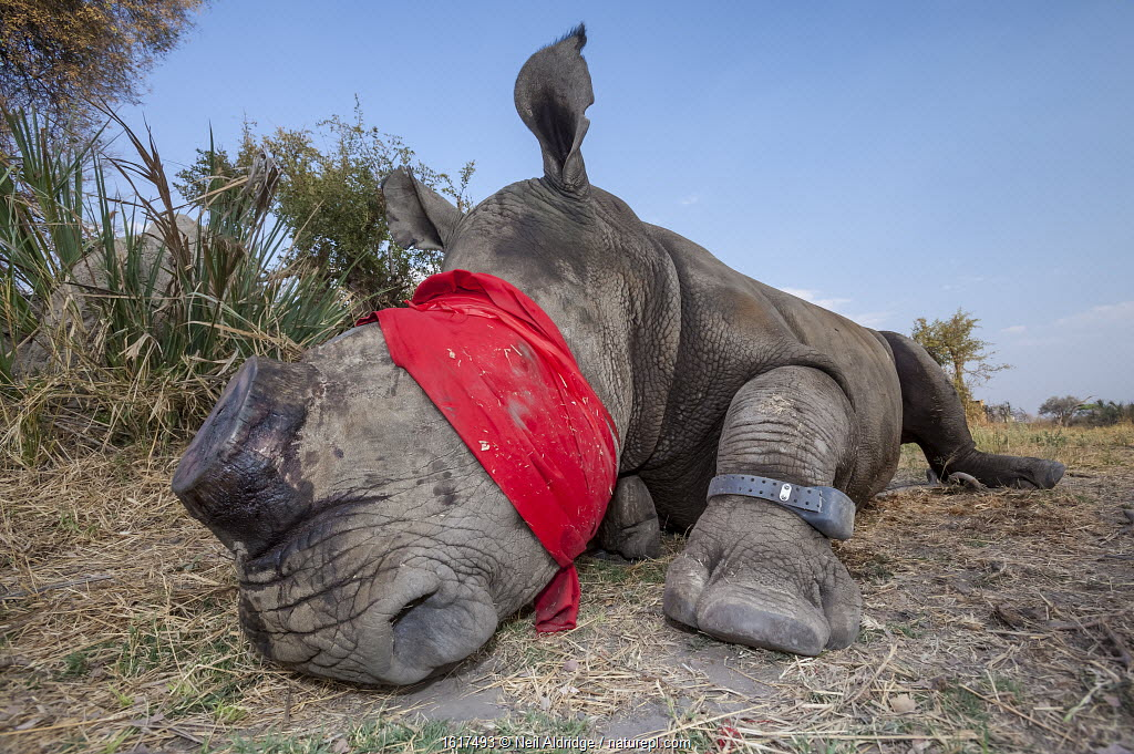 Blindfolded and tranquilised adult White rhinoceros (Ceratotherium simum) with a tracking tag lies and recovers in the Okavango Delta, northern Botswana, following a translocation operation that involved moving rhinos from South Africa to rebuild Botswana's lost rhino populations.