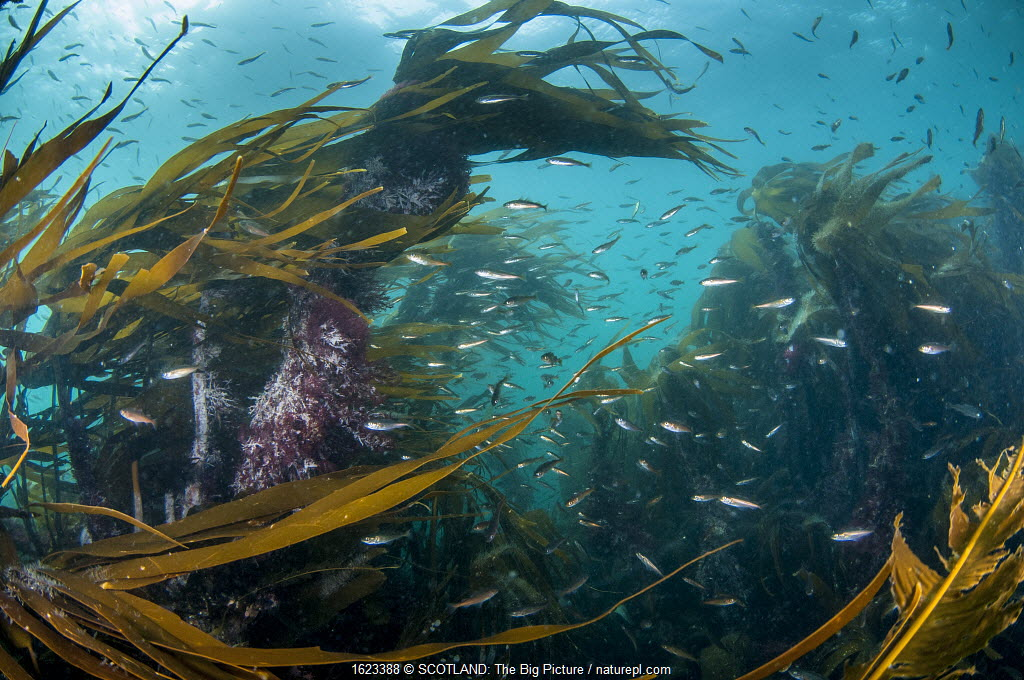 Kelp forest (Laminaria digitata) with small fish, Shetland, Scotland, UK, July.