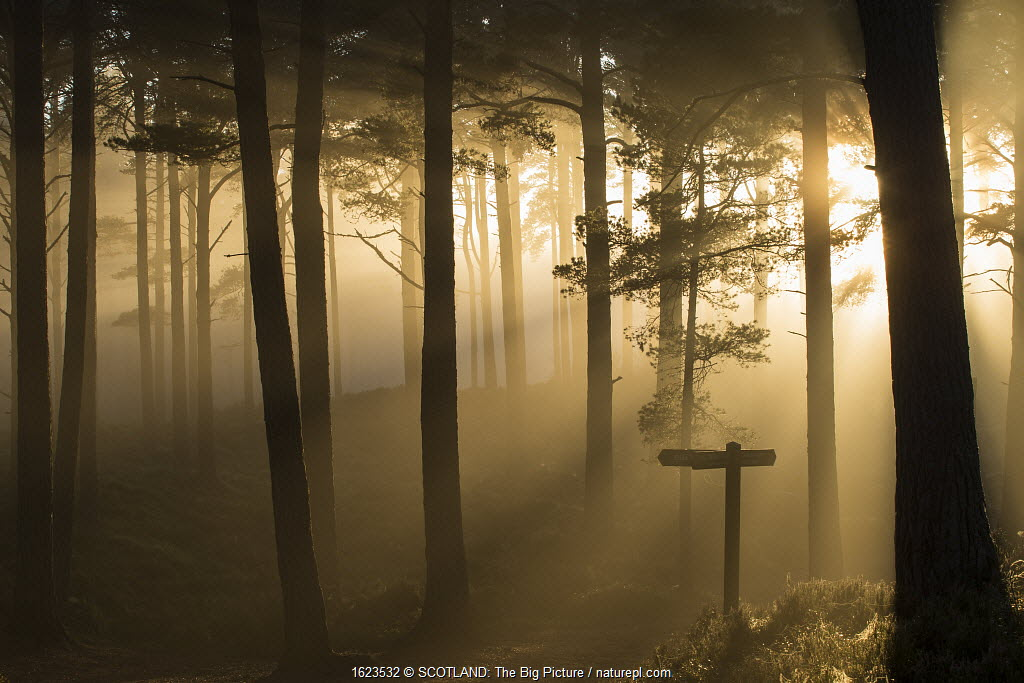 Sunlight splintering through misty pine forest at sunset, Glencharnoch Wood, Cairngorms National Park, Scotland, UK.November