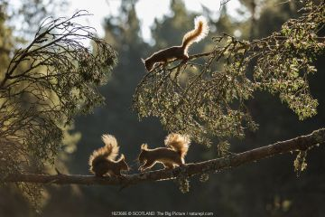 Red squirrel, (Sciurus vulgaris), three animals backlit on pine branch, Cairngorms National Park, Scotland, UK.May