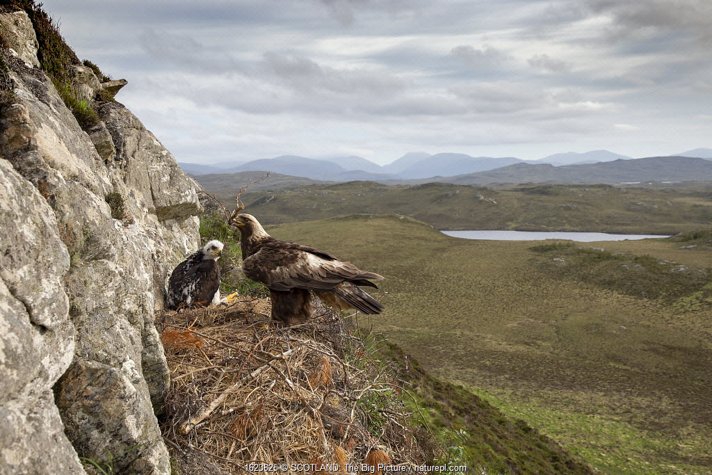 Golden eagle (Aquila chrysaetos) adult with nest material on eyrie with chick showing background, Isle of Lewis, Scotland, UK., May.