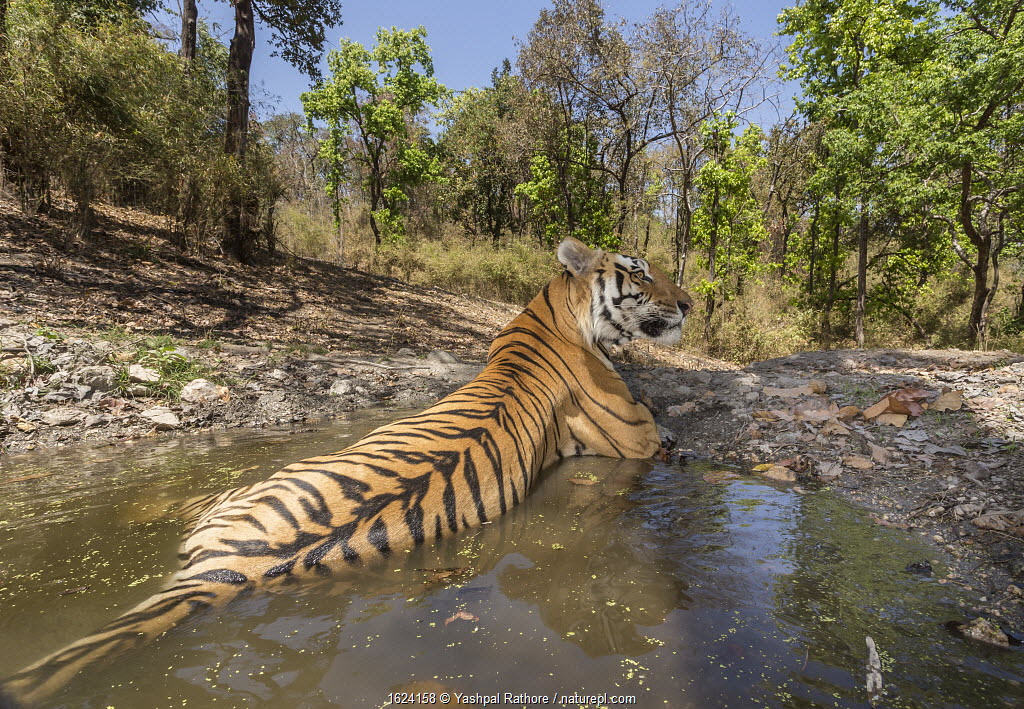 Bengal tiger (Panthera tigris tigris) dominant male (T29) cooling off in a waterhole Kanha National Park, Central India. Camera trap image.