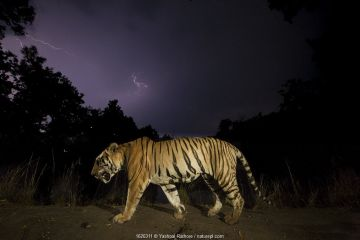 Bengal tiger (Panthera tigris tigris) walking at night, with monsoon clouds and lightning. Kanha National Park, Central India. Dominant male (T29)