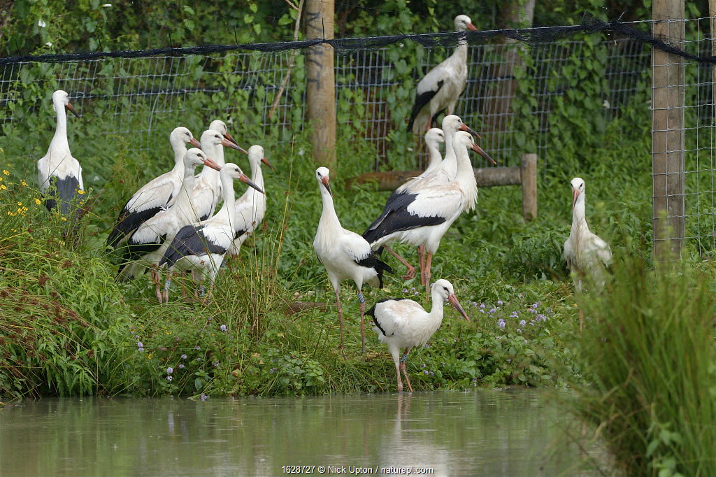 Captive reared juvenile White storks (Ciconia ciconia) starting to emerge cautiously from an opening in a temporary holding pen into a pond on release day on the Knepp estate, Sussex, UK, August 2019.